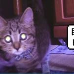 オシキャットの子ネコを迎えました / welcomed a kitten