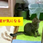 浴室が気になる子猫 / Kitten worries about the bathroom
